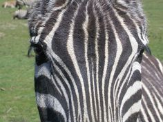 This guy's earned his stripes! - Zebra portrait wildlife park, south of France
