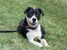 Dodger-Sponsored! is an adoptable Terrier Dog in Meadowlands, PA. With his striking black and white markings, Dodger can easily catch anyone's eye. This mid-size, middle-aged, terrier mix is delighted...
