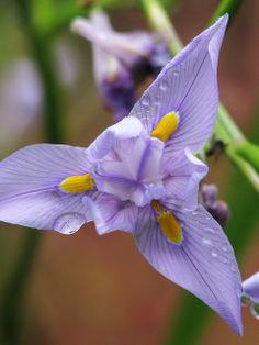 Iris by Moraea