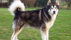 25 raças mais perigosas de cachorro - IDEAGRID - Malamute do Alasca
