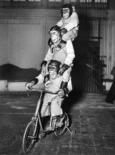 Monkey riding monkey riding monkey riding bike. Triple win. Or is is quadruple?