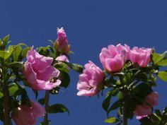 Pereskia quisqueyana - Rose Cactus