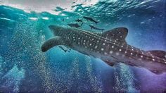 A few of these guys around #kohtao at the moment. Let's hope we see one tomorrow at #chumpon pinnacle #crystaldive #thailand #whaleshark #work #divemaster #livethedream #scubalife #deep #gohard #godeep #scuba #diving #scubadiving #padi #whaleshark #bigspottyfish #shark #fingerscrossed #instatravel #travelgram #wow