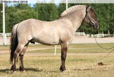 Haavanesko, a Norwegian Fjord stallion. Grå or grulla (black with dun)