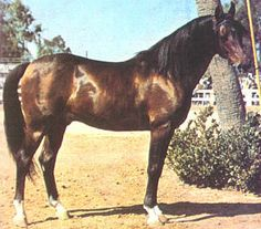 *Bask (Witraz X Balalajka) Born February 9, 1956 at Albigowa State Stud in Poland Imported 1963 by Dr. Gene LaCroix of Lasma, Scottsdale, AZ tud fee went from $500 in 1963 to $10,000 in 1975 Died July 24,1979 Sire of 1,045 purebred foals in the United States/Canada Did not sire any foals in Poland