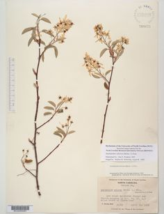 Amelanchier_arborea_,Resources for Botanical Sketchbooks, , Resources for Art Students at CAPI::: Create Art Portfolio Ideas milliande.com, Art School Portfolio Work, , Botanical, Flowers, Plants, Leaves,Stem Seed, Sketching, Herbarium