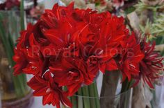 The extra impressive Amaryllis Double Delicious is conspicuous by its large double deep red flowers with a distinctive white stripe.