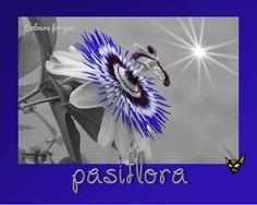 Zarampagalegando: Dicionario visual. Pasiflora