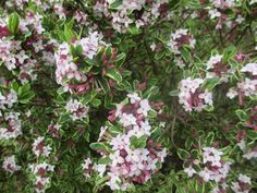 I like this hedge-like plant but I'm not sure what it is Gardening Books, Hedges, Shrubs, Flowers, Plants, Living Fence, Shrub, Flora, Royal Icing Flowers