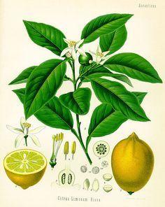 Zitronenbaum selber ziehen