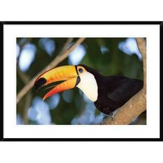 """Global Gallery 'Toco Toucan Portrait' Framed Photographic Print Size: 26"""" H x 36"""" W x 1.5"""" D"""