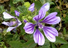 Violet Flaming Flower! Cyprus