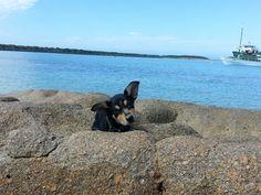 Australian Kelpie at the beach