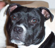 My Staffordshire bull Terrier Pablo Gideon from Staceys Home