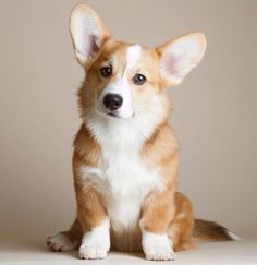 JEALOUS!!!!!!!!of my awesome corgi