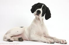 pointer dog | WP38692 English Pointer puppy, Isla , 10 weeks old, lying with head up ...