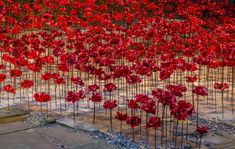 Weeping Window poppies at St Georges Hall. Flickr image by Sheila Eardley