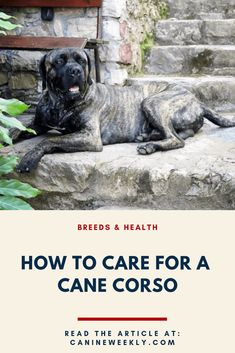 The Cane Corso is a very impressive dog with a big heart and sharp mind. We'll tell you everything you need to know about this fantastic Italian breed here. Cane Corso Dog Breed, Cane Corso Mastiff, Cane Corso Puppies, Mastiff Dogs, Large Dog Breeds, Best Dog Breeds, Italian Cane Corso, Cane Corso Italian Mastiff, Continental Bulldog