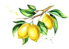 Illustration about Lemon branch with fruit and leaves. Illustration of nature, closeup, green - 105549371 Lemon Painting, Lemon Watercolor, Fruit Painting, Watercolor Flowers, Watercolor Paintings, Lemon Drawing, Lemon Pictures, Lemon Art, Watercolor Sketchbook