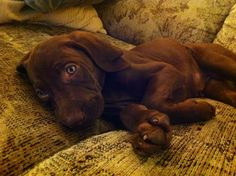 Roxy the Weizsla! Vizsla Weimaraner mix. The cutest puppy ever!