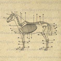 Digital Image Horse Skeleton Diagram Printable Download
