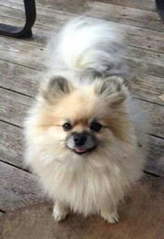 Adorable Pomeranian Dog - just Look at that Tail!