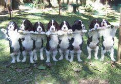 7 week old English springer spaniels-- look at those cute fat tummies!!@Christine Smythe Johnson