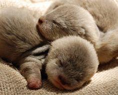 omg..baby otters! @Lani Lee Sigman @Megan Ward DeMoise @Katie Schmeltzer Keith @Jenn L McBride @Jenn L Aughtry