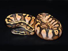 'Calico Pastel' ball python.