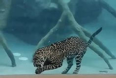 sixpenceee: Footage of jaguar eating underwater! (Source) by fluffytherapy