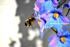 Bee on Delphiniums Art Photograph 8 x 10 inches by mailebaldwin