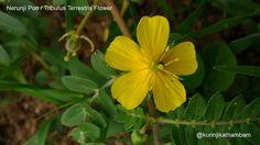 Flowers from My Cam: 2. Nerunji Poo / Tribulus Terrestris ~ Kurinji Kathambam