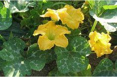 Cultivo de cucurbitáceas