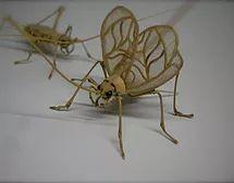 Bell cricket (Meloimorpha japonica)