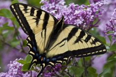 Butterfly Lifecycle and Moth Lifecycle Explained