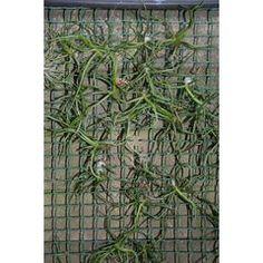 Various tillandsia species (Air plants) for R27.00