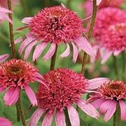 Butterfly friendly plant. Click image to learn more and to add to your own plants list. Echinacea 'Pink Double Delight' is an upright, clump-forming perennial with toothed, dark green leaves and deep pink, double, pompon-like heads of petals blooming in summer and early autumn. This cu
