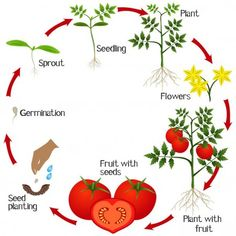 Cycle of growth of a tomato plant on a white background. Sequencing Activities, Kindergarten Activities, How To Grow Watermelon, Growing Watermelon From Seed, Science For Toddlers, Montessori Science, Strawberry Plants, Plant Science, Home Vegetable Garden
