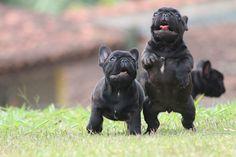 Jabiraca e Jurubeba Houf Jodré www.canilhoufjodre.com.br, French Bulldog Puppies