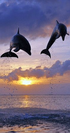 Dolphins frolicking at sunset in Roatan, Bay Islands, Honduras • photo: Martin Ruegner on Media Bakery