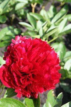 Afbeelding van http://petersplant.nl/img/1/3556.jpg.