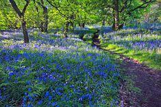 Wald der blauen Blumen (zwischen Baal und Doveren in NRW, Blüte Mitte April bis Mitte Mai)