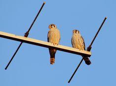 Quiriquiri - casal de falcões --{ Birds }--