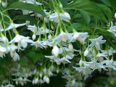 (Recommended by Anne.) Japanese Snowbell Tree - Beautiful, but I would like something with more color. Serenity Garden, Backyard Renovations, Balloon Flowers, Garden Journal, White Gardens, Garden Landscaping, Landscape Design, Outdoor Gardens, Balloons
