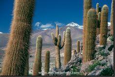 """""""Cardon Grande"""" (Echinopsis atacamensis), San Pedro de Atacama"""