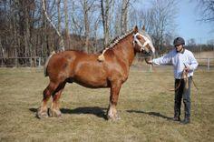 Swedish Ardennes - stallion Högshults Bargo
