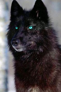 Loup Noir aux yeux bleus_Black Wolf with blue eyes Wolf Spirit, My Spirit Animal, Beautiful Wolves, Animals Beautiful, Beautiful Beautiful, Wolf With Blue Eyes, Wolf Eyes, Tier Wolf, Animals And Pets