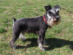 Schnauzer, as raças de cachorros que vivem mais tempo