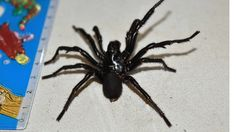 Big Boy, a funnel-web spider with a leg span of 10cm, is the largest specimen ever handed in to Australia's only venom-milking programme.