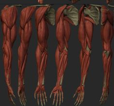 Image result for arm anatomy